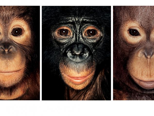 Should chimpanzees have legal rights?
