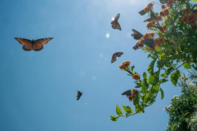 Butterflies swarm a flowering plant at the National Butterfly Center in Hidalgo County, Texas.