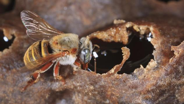 A stingless Mayan bee (Melipona beecheii) gorges itself with honey during the harvest in Yucatan, Mexico.