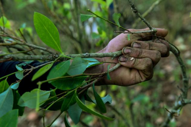 A farmer picks coca leaves in a field in Colombia.