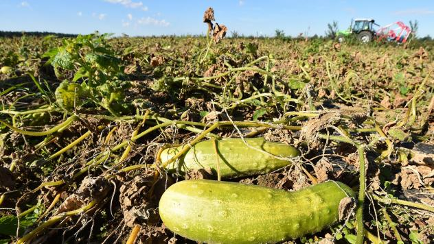 Every summer, downy mildew spreads from Florida northward, adapting to nearly every defense pickle growers have in their arsenals and destroying their crops.