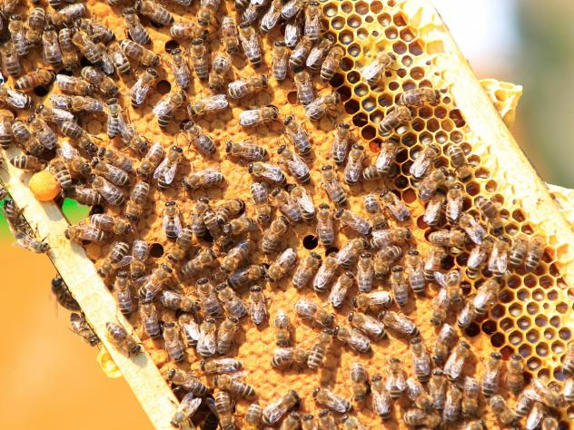 Researchers say they've found a way to let queen bees pass on immunity to a devastating disease called American foulbrood. The infectious disease is so deadly, many states and beekeeping groups recommend burning any hive that's been infected. Here, a fra