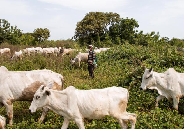 Sale Tambaya, a cattle herder in central Nigeria, grazes his cows. After his home state criminalized open grazing in November 2017, he and his family fled with their livestock to a neighboring state where grazing is allowed. Two of his sons died on the j