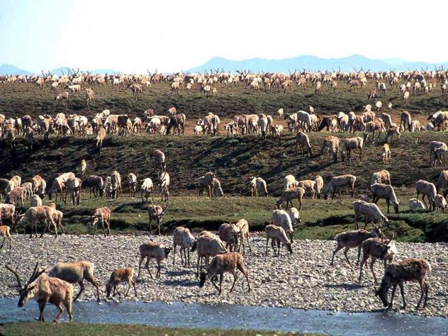 The Trump administration has taken another step toward selling leases to drill oil in the Arctic National Wildlife Refuge. In this photo from the U.S. Fish and Wildlife Service, caribou migrate onto the coastal plain of the refuge in northeast Alaska.