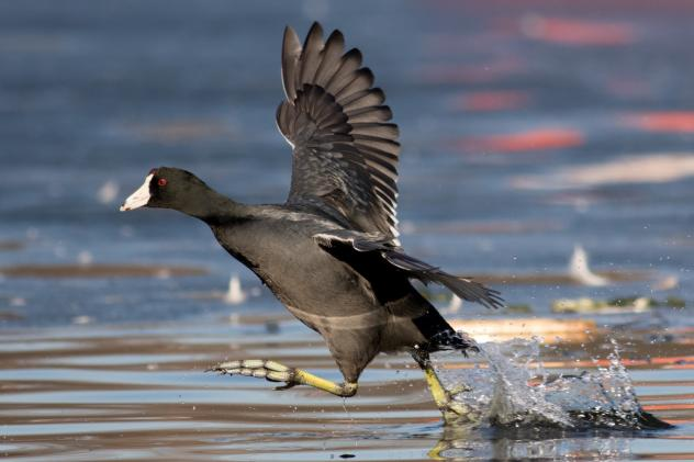 An American coot flies over Brooklyn's Prospect Park Lake on Feb. 5.