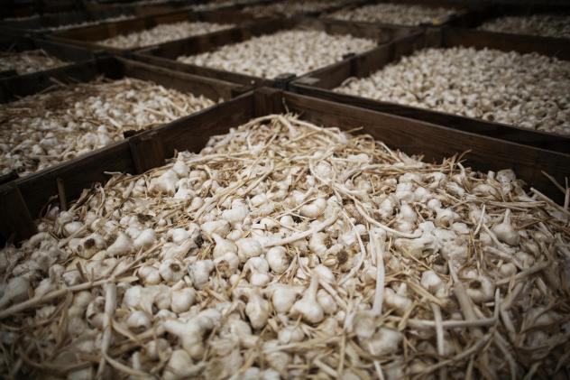 Garlic sits in bins before being processed at the processing plant.