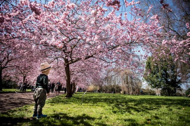 A child takes in the sights under blooming Japanese cherry trees at the Bispebjerg Cemetery in Copenhagen, Denmark.