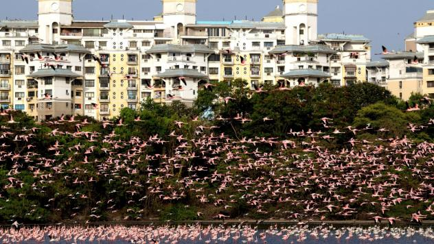 Flamingos flock to Mumbai between September and April, but this year there are almost three times more birds than the amount that usually flocks to the area.