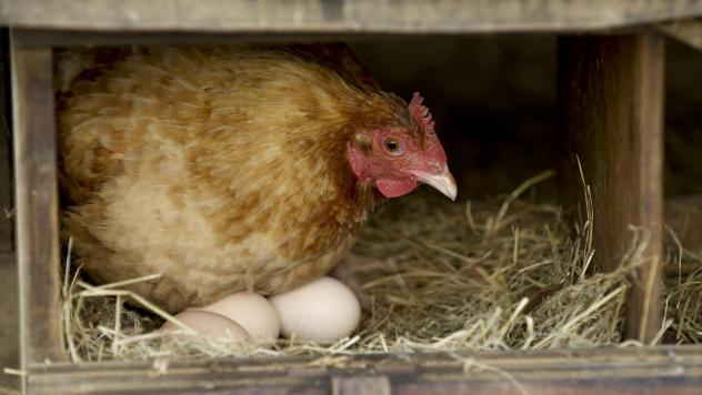 Many backyard chicken keepers are thinking less about the business of raising chickens and more about collecting them — you just have to have them all — which comes with predictable consequences: too many eggs.