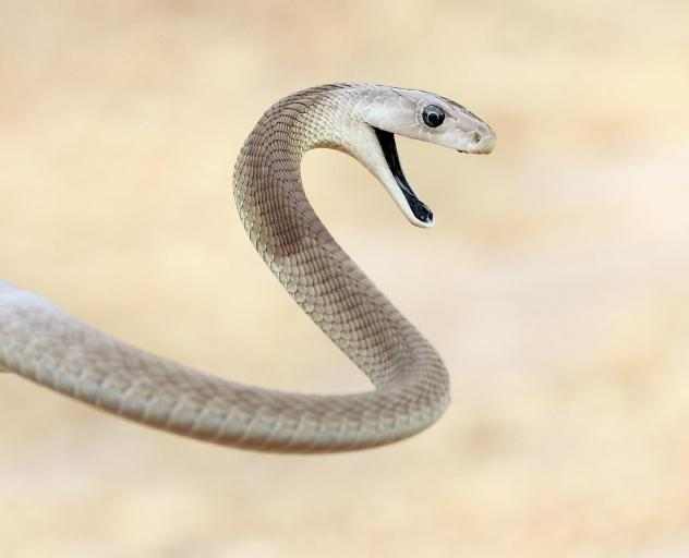 The black mamba is a large venomous snake found in Africa. The World Health Organization estimates that up to 138,000 people die from a snakebite each year.