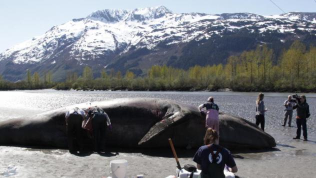 A dead whale at the mouth of the Placer River, at the eastern end of the Turnagain Arm, near Anchorage, Alaska. The deaths of at least 60 whales along the Pacific Coast this year have scientists concerned and looking for answers.