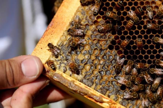 Bees crawl over larvae and capped honey cells on a hive frame. Larvae are especially vulnerable to pests like <em>Varroa</em> mites.