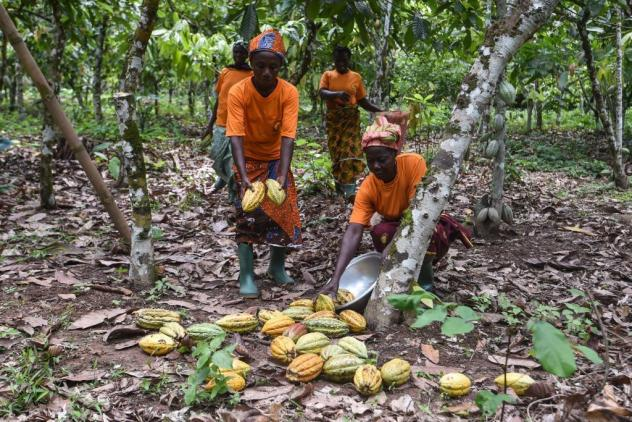 Cocoa producers of the Yakasse-Attobrou Agricultural Cooperative gather cocoa pods in a certified Fair Trade-label cocoa plantation in Adzope, Ivory Coast.