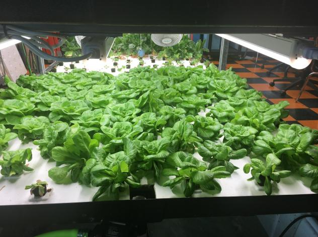 These greens are among the hydroponic crops grown by students at Brownsville Collaborative Middle School, in Brooklyn, N.Y. In June, the students started to sell discounted boxes of the fresh produce to community members.