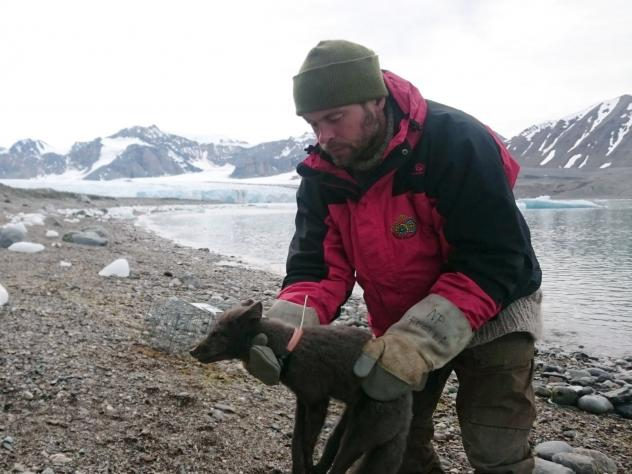 A polar fox is fitted with a satellite tracking collar in Krossfjorden, Svalbard, on July 29, 2017, as part of research conducted by the Norwegian Polar Institute. Norwegian researchers said Tuesday that this young female arctic fox has been tracked walk
