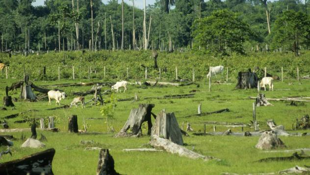 Cattle graze in pasture formed by cleared rainforest land in Pará, Brazil. A new online tool makes it easier for food companies to detect this kind of land-clearing by their suppliers.