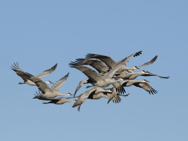 A group of sandhill cranes fly together in New Mexico.