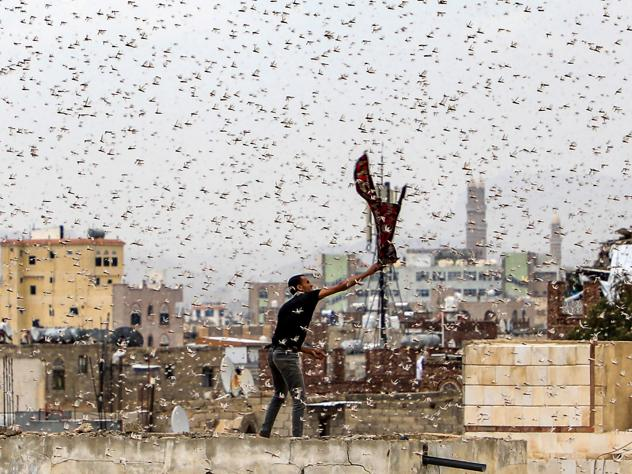 Locusts swarm over Yemen's capital.