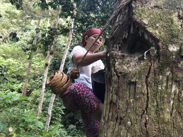 """In the forests near the southern Sumatran village of Krui, 48-year-old Marhana climbs up the trees to harvest damar, a resin used in paints and varnishes. These damar trees are part of something called an """"agroforest,"""" which experts see as a way to preve"""