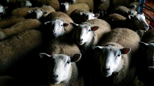 A flock of Texel-Dorset sheep gather near a hay trough in a Hudson River Valley barn in Medusa, N.Y. Millennials and more experimental diners might be open to eating mutton.