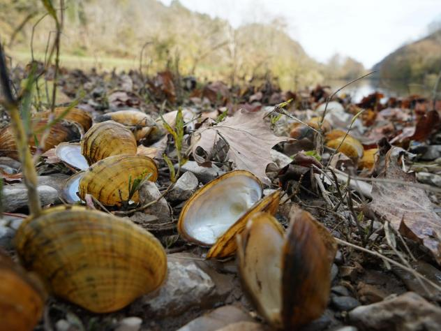 """Biologists pile fresh dead mussel shells on the edge of the Clinch River after documenting the species' number and type. The smell can get """"real bad,"""" says biologist Rose Agbalog."""