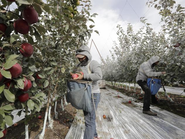 Workers pick apples in a Wapato, Wash., orchard last October. U.S. farms employ hundreds of thousands of seasonal workers, mostly from Mexico, who enter the country on H-2A visas. The potential impact of the coronavirus on seasonal workers has the food i