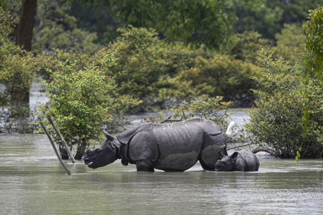 A one-horned rhinoceros and a calf wade through flood water at the Pobitora Wildlife Sanctuary in Assam, India, Thursday. Floods and landslides triggered by heavy monsoon rains have killed dozens of people in this northeastern region. The floods also inu