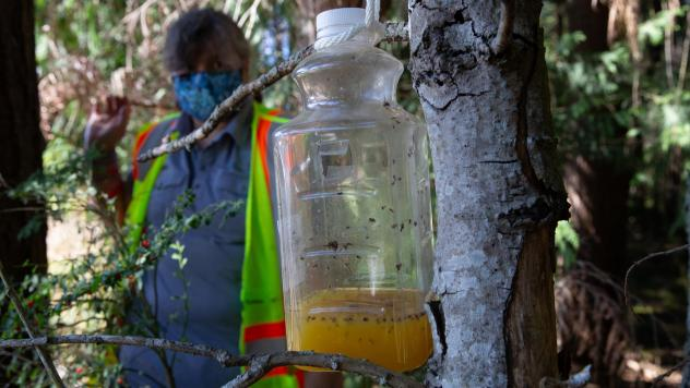 A bottle containing orange juice and rice cooking wine is set as a trap by Jenni Cena, pest biologist and trapping supervisor from the Washington State Department of Agriculture, in an effort to catch Asian giant hornets, also known as murder hornets.