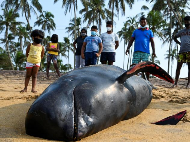 People look at a dead pilot whale Tuesday on the beach in Panadura, Sri Lanka. Rescuers and volunteers raced to save more than 100 pilot whales stranded on Sri Lanka's western coast.