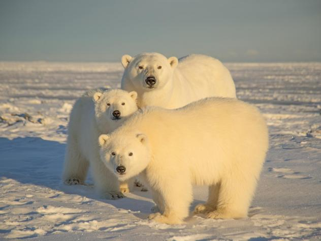 A polar bear with cubs in Alaska's Arctic National Wildlife Refuge in 2014.