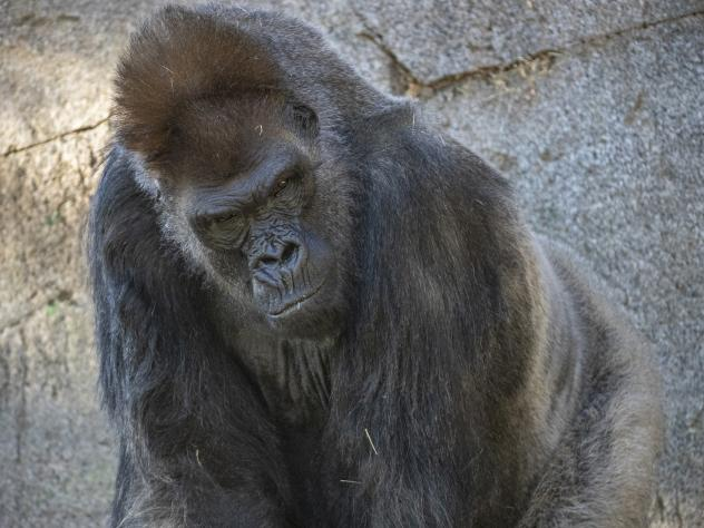 One of the eight gorillas in the troop at the San Diego Zoo Safari Park in California. Some of the gorillas contracted the coronavirus this month. One of the older gorillas received monoclonal antibody therapy as part of his treatment.