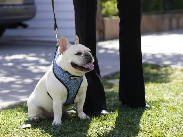 French Bulldogs were the second most popular breed registered with the American Kennel Club in 2020.