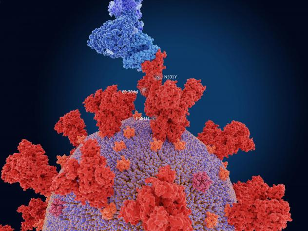 The numerals in the illustration show the main mutation sites of the B.1.1.7 variant first detected in the U.K., which is more transmissible than other variants. Here, the virus's spike protein (red) is bound to a human cell (blue).