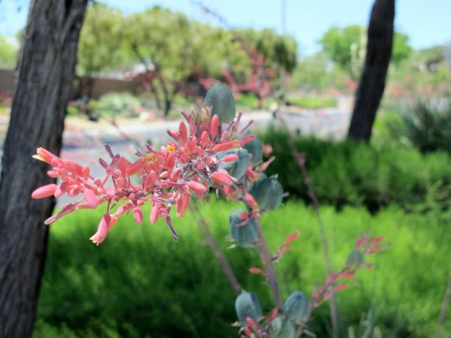 Red Yucca