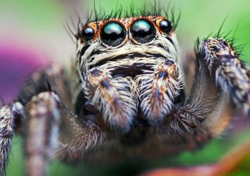 A jumping spider - Evarcha arcuata - literally hangs out at nighttime - but this was a surprise, even to a jumping spider researcher.