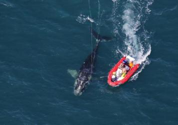 Scientists from NOAA Fisheries Service approach a young North Atlantic right whale in order to disentangle it. New research shows whales with severe entanglements in rope and fishing gear are experiencing stunted growth, and body lengths have been decrea