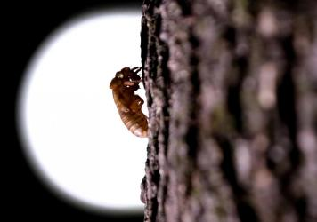 A cicada that have been living underground reemerges in Washington in May.