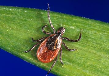 Blacklegged ticks carrying the bacterium that causes Lyme have been found in the coastal chaparrals surrounding California beaches.