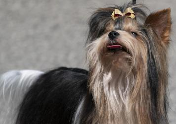 The American Kennel Club describes Biewer terriers as happy-go-lucky dogs with energetic personalities.