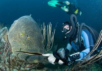 Because of their size, goliath groupers are nearly fearless and easy prey for fishermen and divers with spear guns.