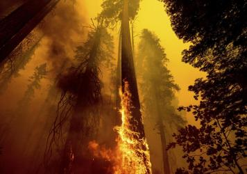 Flames from the Windy Fire burn up a giant tree this month in the Trail of 100 Giants grove in Sequoia National Forest in California. Children in younger generations will experience two to seven times more extreme climate events such as wildfires, a new