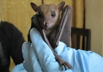 Ecologists found signs of Ebola in a <em>Rousettus leschenaultii</em> fruit bat. These bats are widespread across south Asia, from India to China.