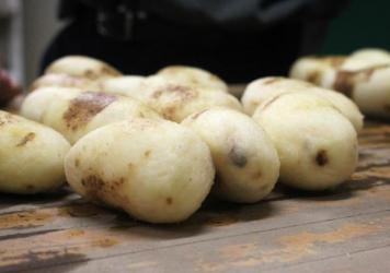 Michigan State's researchers cooked up two batches of fries to compare bruising in traditional, non-GMO potatoes (left) and GMO potatoes (right).