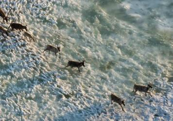 A herd of caribou begins the long trek across the Arctic plains in the Arctic National Wildlife Refuge.