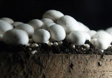 "Mushrooms from a farm in Chester County, Pa., dubbed the ""Mushroom Capital of America."""
