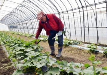 Farmer Magoichi Shigihara checks on his cucumber farm in Nihonmatsu in Fukushima prefecture, about 31 miles west of the Fukushima nuclear power plant, in May 2011. Testing shows radiation in foods grown and raised in Fukushima is back to pre-accident lev