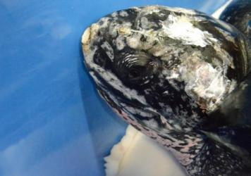 The leatherback sea turtle was prepared for its release back into the Atlantic Thursday.