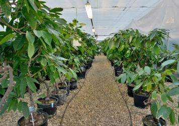 Rows of potted cocoa plants from around the world. Before a cocoa variety from one country can be planted in the other, it first makes a pit stop here, at a quarantine center in rural England.