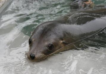 So far this month, more than 330 California sea lions have been admitted to the Marine Mammal Care Center at Fort MacArthur in San Pedro, Calif.