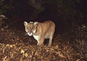 The mountain lion known as P-22 is seen in Los Angeles' Griffith Park in November 2014. He hid out for a time in the crawl space of a Los Angeles home.
